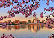 Cherry Blossoms Photo Originals - Cherry Blossoms by Boyd Alexander