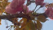 Genevieve Esson - Cherry Blossoms By Van Gogh