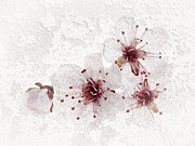 Pink Flowers. Posters - Cherry blossoms close up Poster by Elena Elisseeva