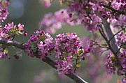 Pink Flower Branch Prints - Cherry Blossoms Print by Dale Kincaid