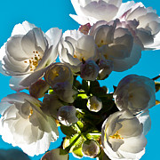 Spring Florals Photos - Cherry Blossoms by David Patterson