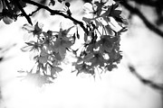 Sakura Photo Prints - Cherry Blossoms Print by Dean Harte