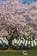 Burial Ground Framed Prints - Cherry Blossoms Grace Arlington National Cemetery Framed Print by Susan Candelario