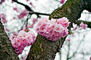Cherry Blossoms Photo Originals - Cherry Blossoms Heart by Daniel Dojlidko