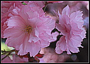 Cherry Blossoms Photo Originals - Cherry Blossoms in Bloom by Dora Sofia Caputo