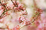 Blossom Prints Posters - Cherry Blossoms in Spring Poster by Peggy Collins