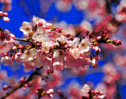 Cherry Blossoms Photo Originals - Cherry Blossoms by Larry Oskin
