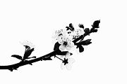 Cherry Blossoms Print by Marion McCristall