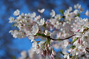 Cherry Blossoms Photo Originals - Cherry blossoms by Michelle A