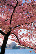 Tidal Basin Photos - Cherry Blossoms by Mitch Cat