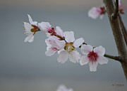 Rderder Prints - Cherry Blossoms Print by Roy Erickson