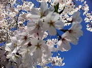 Cherry Blossoms Print by Shelia Kempf