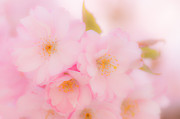 Cherry Blossoms Photo Originals - Cherry Blossoms by Silvia Alcantara