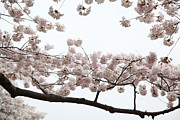 Jefferson Prints - Cherry Blossoms - Washington DC - 0113103 Print by DC Photographer