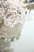 Cherry Blossoms - Washington Dc - 0113105 Print by DC Photographer