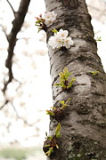 White Photo Metal Prints - Cherry Blossoms - Washington DC - 0113107 Metal Print by DC Photographer