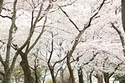 Holiday Prints - Cherry Blossoms - Washington DC - 0113111 Print by DC Photographer