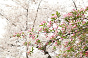 Blossoms Art - Cherry Blossoms - Washington DC - 0113112 by DC Photographer