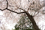 Holiday Prints - Cherry Blossoms - Washington DC - 0113115 Print by DC Photographer