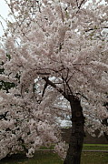 Petals Metal Prints - Cherry Blossoms - Washington DC - 0113118 Metal Print by DC Photographer