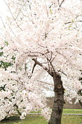Outside Photo Prints - Cherry Blossoms - Washington DC - 0113119 Print by DC Photographer