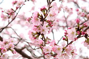 Flowering Prints - Cherry Blossoms - Washington DC - 0113124 Print by DC Photographer