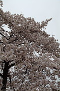 Usa Prints - Cherry Blossoms - Washington DC - 0113125 Print by DC Photographer