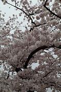 Outside Photo Prints - Cherry Blossoms - Washington DC - 0113126 Print by DC Photographer