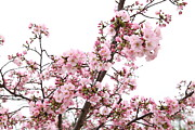 D.c. Metal Prints - Cherry Blossoms - Washington DC - 0113127 Metal Print by DC Photographer