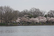 Blooming Art - Cherry Blossoms - Washington DC - 011313 by DC Photographer