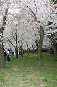 Tourism Photos - Cherry Blossoms - Washington DC - 0113131 by DC Photographer