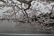 Sightseeing Metal Prints - Cherry Blossoms - Washington DC - 0113134 Metal Print by DC Photographer