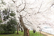 Soft Prints - Cherry Blossoms - Washington DC - 0113135 Print by DC Photographer
