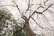 Cherry Blossoms - Washington Dc - 0113136 Print by DC Photographer