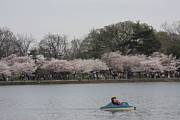 Cherry Blossoms - Washington Dc - 011314 Print by DC Photographer