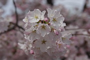 Flower Photo Prints - Cherry Blossoms - Washington DC - 011323 Print by DC Photographer