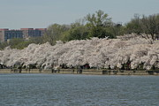 Blooming Photo Prints - Cherry Blossoms - Washington DC - 011334 Print by DC Photographer