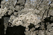Japan Photos - Cherry Blossoms - Washington DC - 011343 by DC Photographer