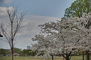 Bloom Photo Metal Prints - Cherry Blossoms - Washington DC - 011348 Metal Print by DC Photographer