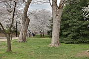 Grass Photo Framed Prints - Cherry Blossoms - Washington DC - 011349 Framed Print by DC Photographer