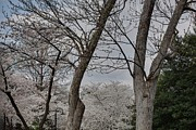 Flowering Prints - Cherry Blossoms - Washington DC - 011354 Print by DC Photographer