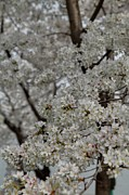 Romantic Photos - Cherry Blossoms - Washington DC - 011358 by DC Photographer