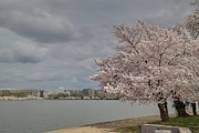 Pretty Photos - Cherry Blossoms - Washington DC - 011361 by DC Photographer