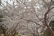 Metropolitan Photo Prints - Cherry Blossoms - Washington DC - 011363 Print by DC Photographer