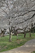 Holiday Prints - Cherry Blossoms - Washington DC - 011364 Print by DC Photographer