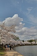 National Prints - Cherry Blossoms - Washington DC - 011372 Print by DC Photographer