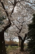 Petals Prints - Cherry Blossoms - Washington DC - 011373 Print by DC Photographer