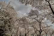 Travel Photo Metal Prints - Cherry Blossoms - Washington DC - 011377 Metal Print by DC Photographer