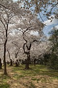 Blossoms Metal Prints - Cherry Blossoms - Washington DC - 011379 Metal Print by DC Photographer