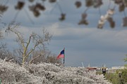 Cherry Blossoms - Washington Dc - 011381 Print by DC Photographer